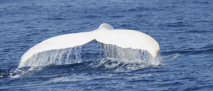 Marea separare: Balena albastră, Balena roz… balena albă